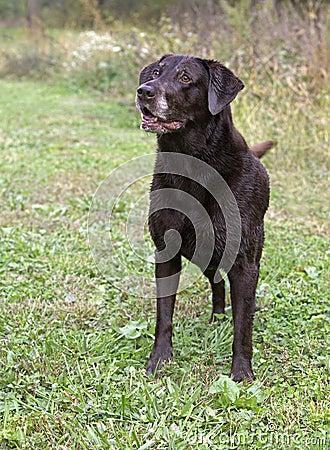 Alert Chocolate Labrador Retriever