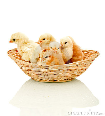 Alert fluffy chickens in a basket
