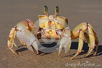 Alert ghost crab