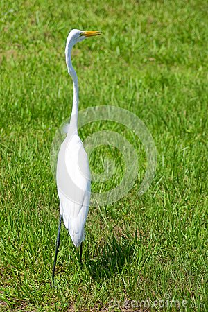 Alert great egret or white heron looking right