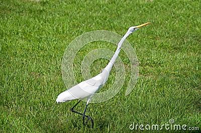 Alert great egret or white heron walking right