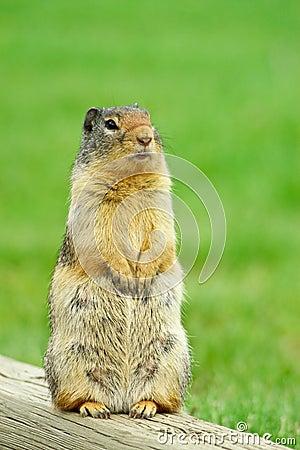Alert Ground Squirrel
