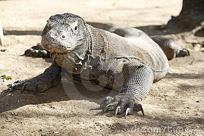 Alert Komodo dragon