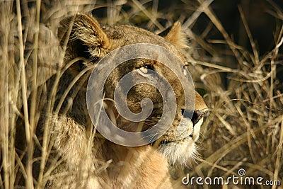 Alert Lion in Grassland