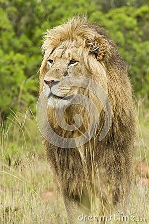 Staring lion