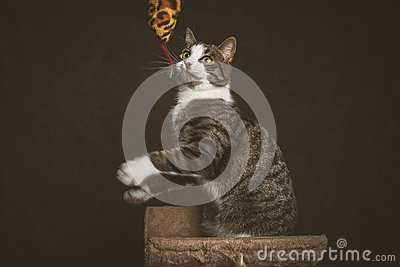 Alert playful young tabby cat with white chest sitting on scratching post against dark fabric background.