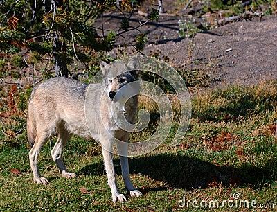 Alert Timber Wolf