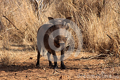 Alert Warthog Male in Clearing