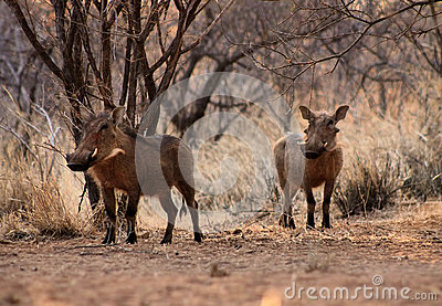 Alert Warthogs Under Bushveld Trees