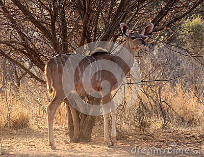 Alert Young Kudu Cow Under Bushveld Tree