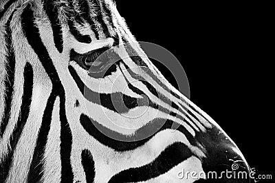 Alert zebra face