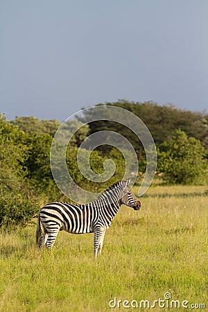 Alert zebra