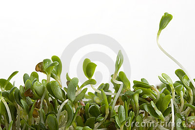 Alfalfa sprouts on white