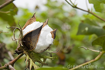 Algodón en granja