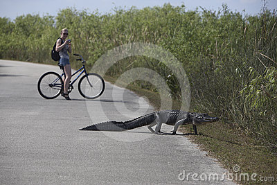 Aligator and Turist on bike Editorial Image