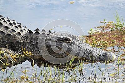 Aligatora amerykanin