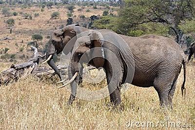 Aligned elephants