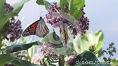 Alimentação da borboleta de monarca no milkweed video estoque