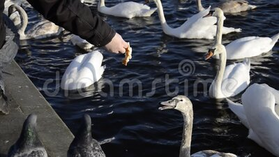 Alimentação de pães com mãos no inverno filme