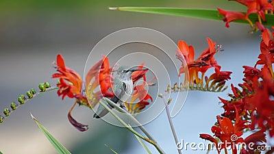 Alimentação do colibri filme