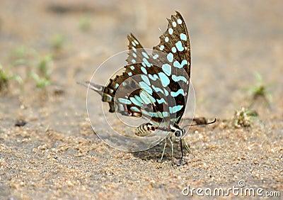 Alimentazione della farfalla