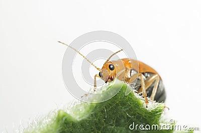 Alimento de alimentación del insecto anaranjado en la hoja verde.