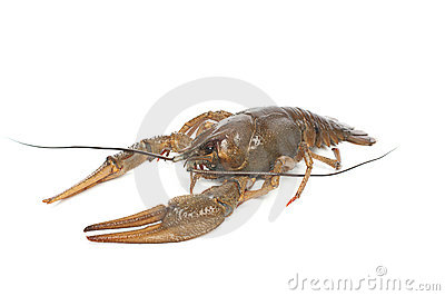 Alive crawfish on white background