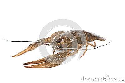 Alive crawfish on white background