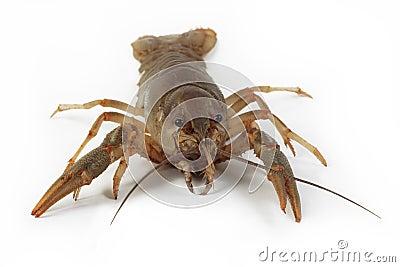 Alive crayfish