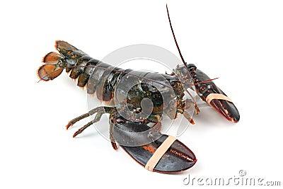 Alive lobster
