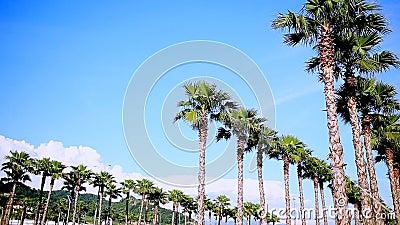Allées de hauts beaux palmiers contre le ciel bleu Nature, été banque de vidéos