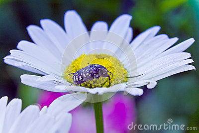Alleculid beetle