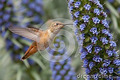 Allen s Hummingbird