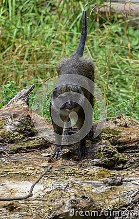 Free Allen`s Swamp Monkey Royalty Free Stock Photos - 108403288