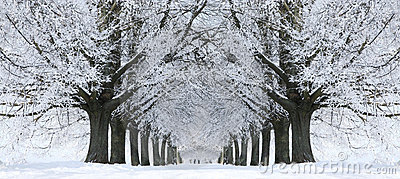 Winter Snow Trees, Park Road Perspective, White Alley Tree Rows