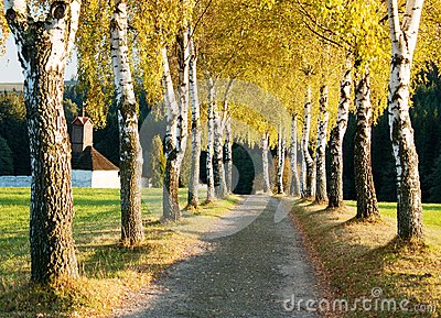 Alley of birch trees