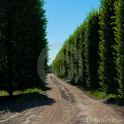 Alley of hornbeam