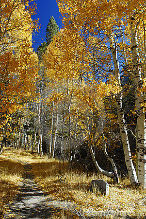 Free Alley Of Aspens Near June Lake Royalty Free Stock Images - 3594099