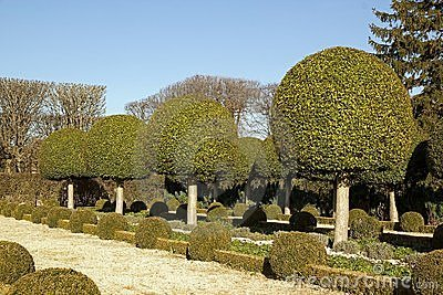 Alley shrubs of boxwood