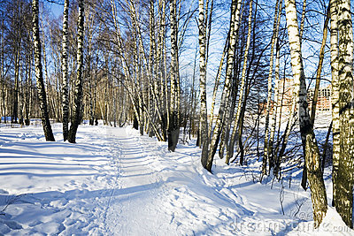 Alley of winter birches