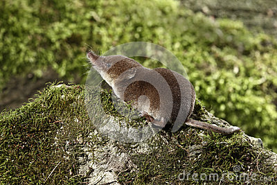 Allgemeine Spitzmaus, Sorex Araneus