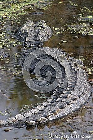 Free Alligator Stock Images - 1031724