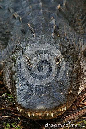 Free Alligator Stock Images - 1235714