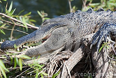 Alligator Royalty Free Stock Photography - Image: 14384247