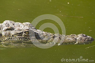 Alligator (Alligator Mississippiensis)
