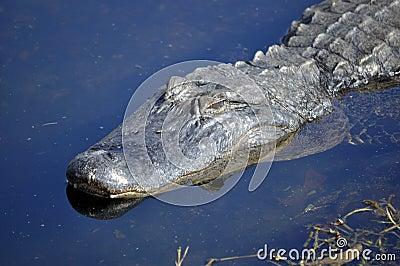 Alligator américain égrappant dans l eau