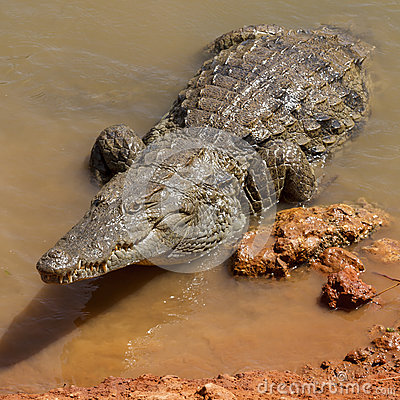 Free Alligator At Waters Edge Stock Images - 72016594