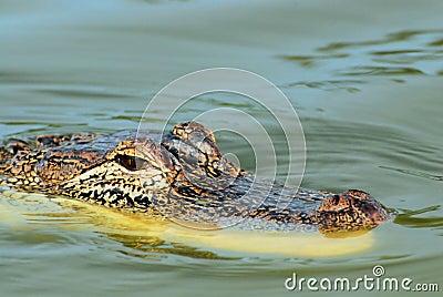 Alligator attentif