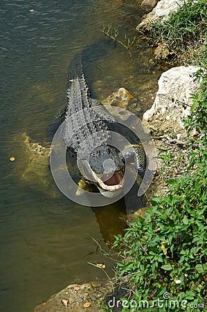 Alligator cooling off