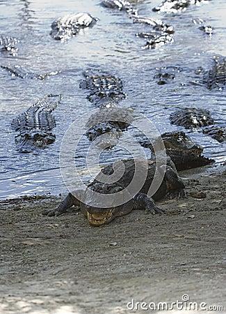 Free Alligator Feeding Frenzy Stock Image - 4809171